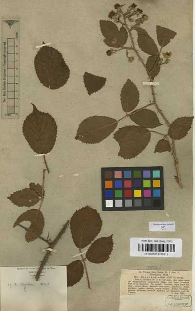Rubus distractus P.J.Müll. & Wirtg.