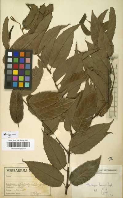 Maesopsis eminii Engl.