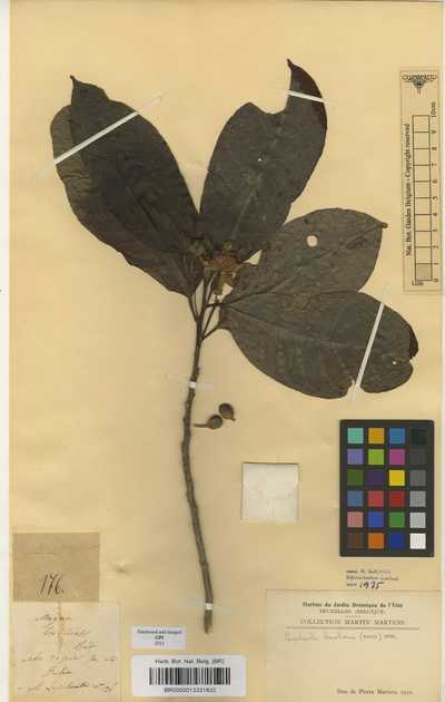 Carpotroche brasiliensis (Raddi) A.Gray