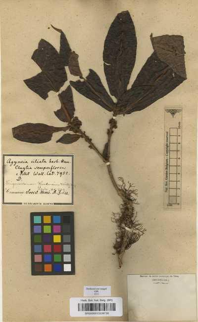 Trigonostemon semperflorens (Roxb.) Müll.Arg.