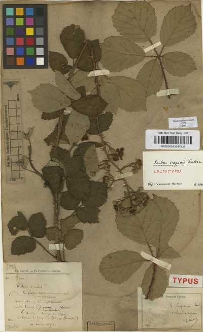 Rubus crepinii Sudre