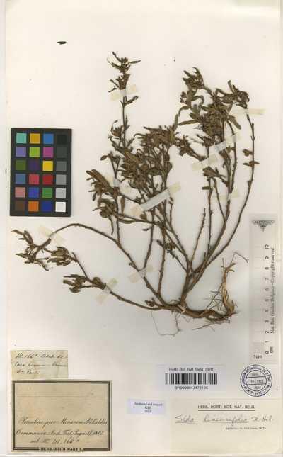 Sida linifolia Cav.