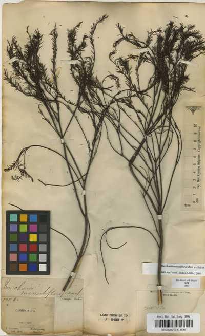 Baccharis minutiflora Mart. ex Baker