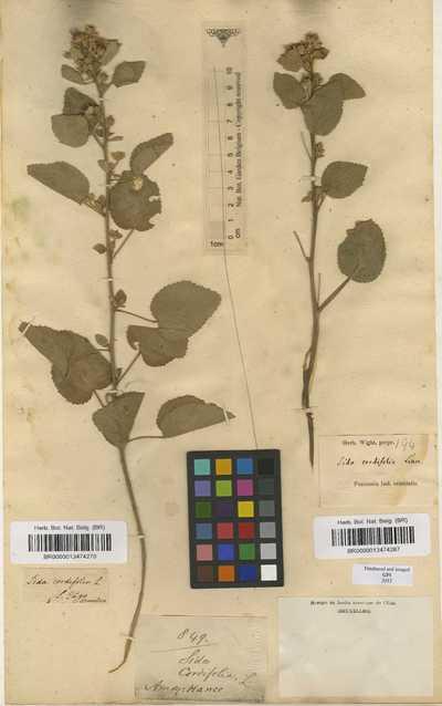Sida cordifolia L.