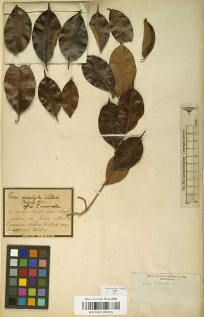 Ficus heteropleura Blume