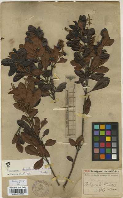 Lamanonia chabertii (Pamp.) L.B.Sm.