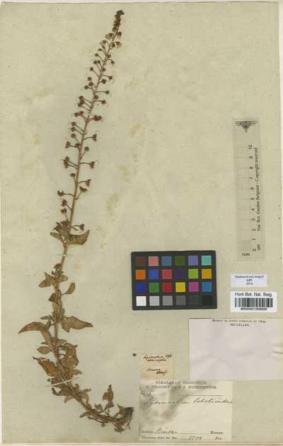 Lysimachia lobelioides Wall.