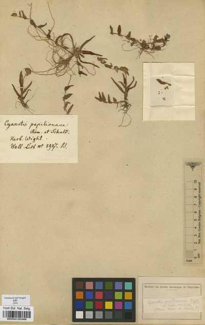 Cyanotis papilionacea (Burm.f.) Schult. & Schult.f.