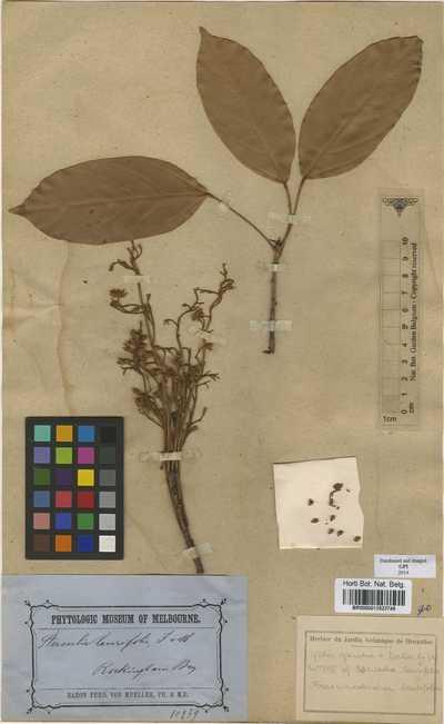 Franciscodendron laurifolium (F.Muell.) B.Hyland & Steenis