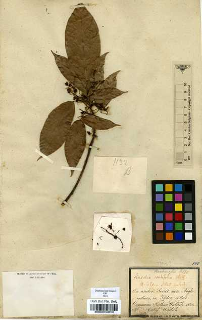 Sterculia lanceifolia Roxb.