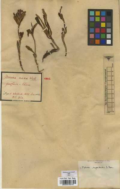 Morina nepalensis D.Don