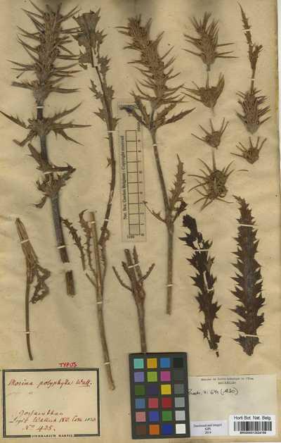 Morina polyphylla Wall. ex DC.