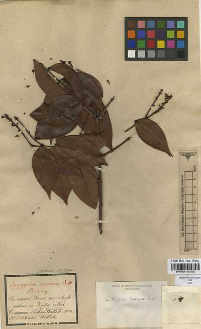 Eugenia bracteata Roxb.