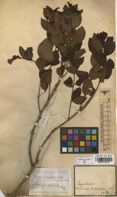 Eugenia subreticulata Glaz.