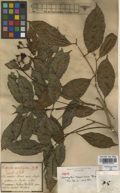Eugenia ramosissima (Blume) Wall. ex Duthie