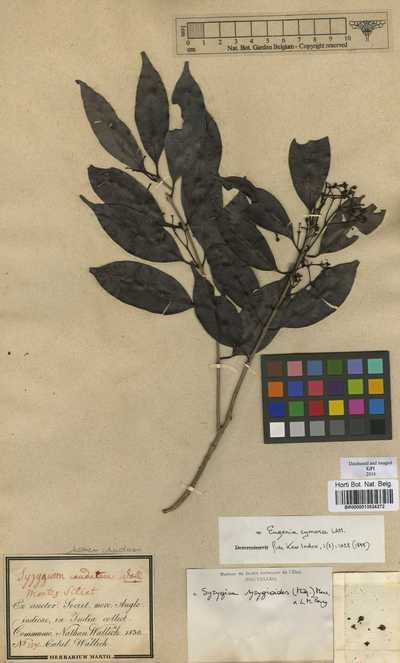Syzygium syzygioides (Miq.) Merr. & L.M.Perry