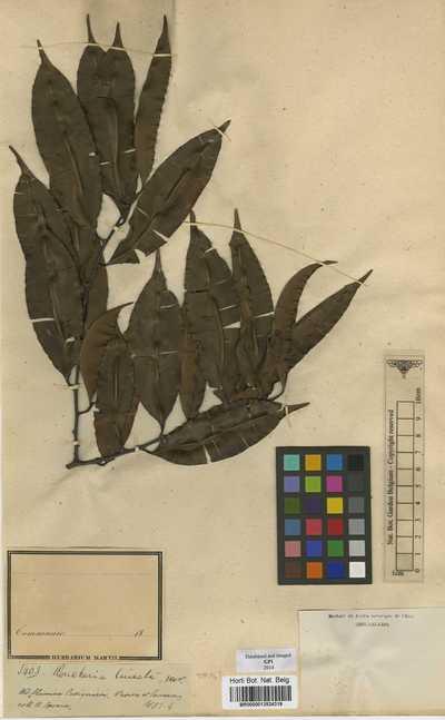 Roucheria lineata Benth.