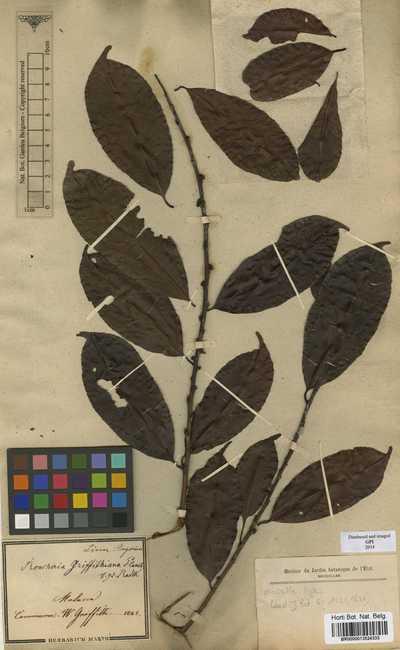 Roucheria griffithiana Planch.