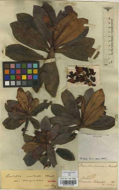 Bonnetia anceps Mart. var. corymbosa Wawra