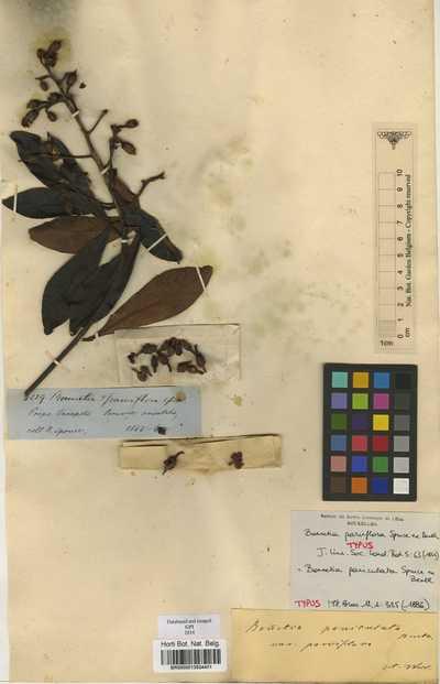 Bonnetia paniculata Spruce ex Benth.