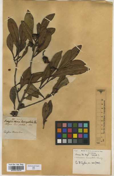 Adinandra lasiopetala (Wright) Choisy