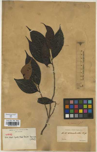 Adinandra acuminata Korth.