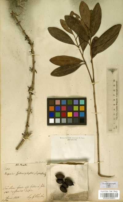 Eugenia dodonaeifolia Cambess.