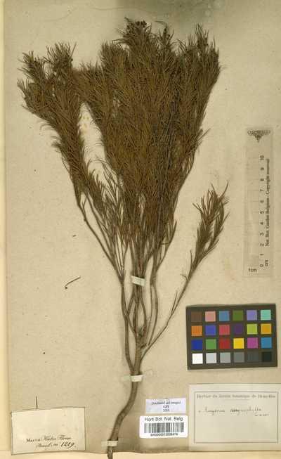 Blepharocalyx myriophyllus Morais & Sobral