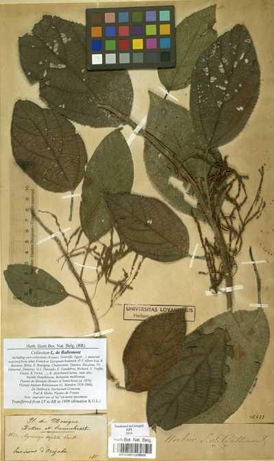 Myriocarpa stipitata Benth.
