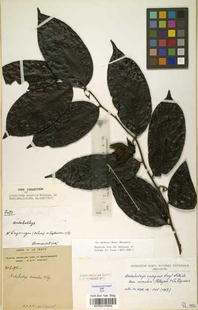 Artabotrys insignis Engl. & Diels var. concolor (Pellegr.) Le Thomas