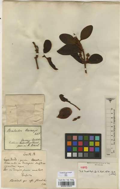 Phoradendron warmingii Eichl.