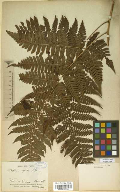 Ctenitis equestris (Kunze) Ching