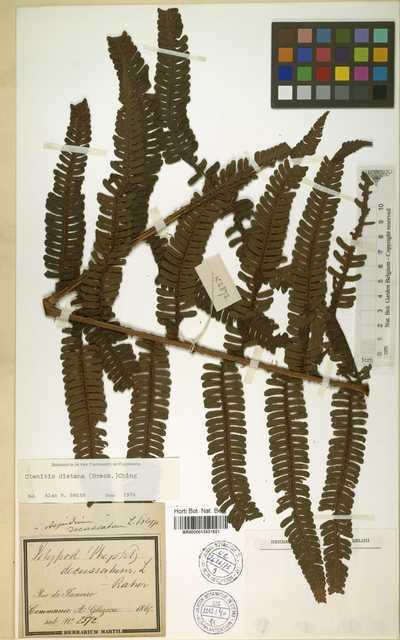 Ctenitis distans (Brack.) Ching