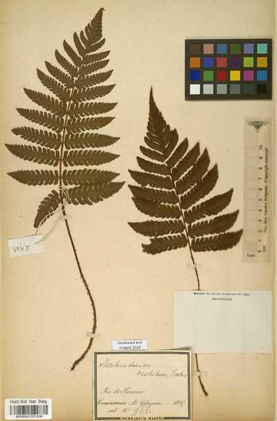 Nephrodium vestitum Baker
