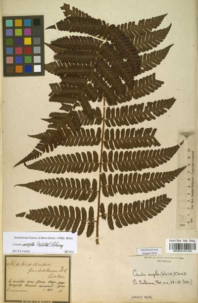 Ctenitis ampla (Humb. & Bonpl. ex Willd.) Ching