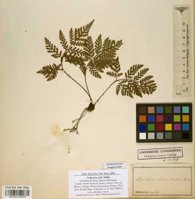 Ctenitis hirta (Sw.) Ching