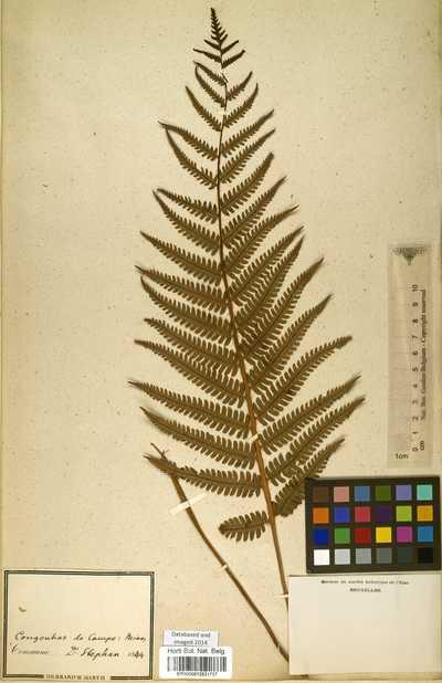 Ctenitis submarginalis (Langsd. & Fisch.) Ching