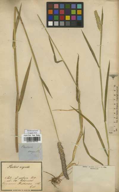 Phalaris angusta Nees ex Trin.