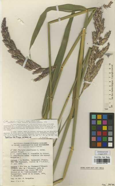 Phalaris arundinacea L.