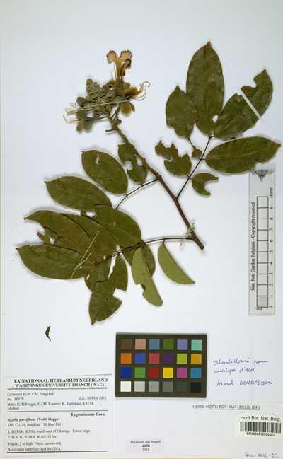 Afzelia parviflora (Vahl) Hepper