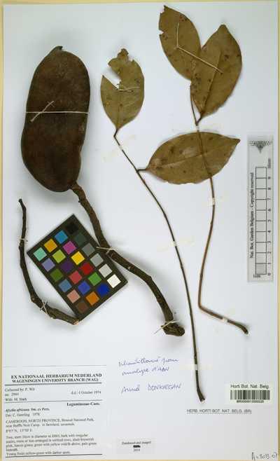 Afzelia africana Sm. ex Pers.