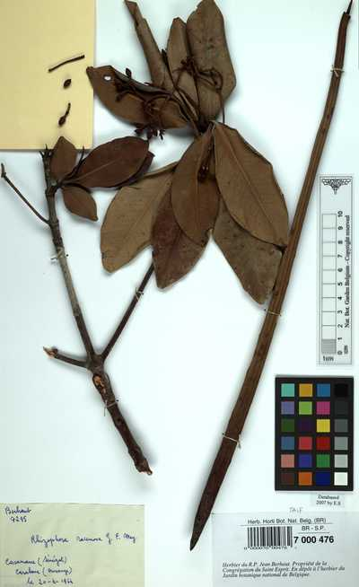 Rhizophora racemosa G.Mey.