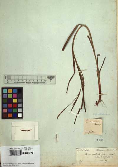 Carex sorida Van Heurck et Muell Arg.