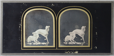 Stereo view of a statue of two dogs with collars (greyhounds) one crouching on the left, the other with paw raised, turning to look at him. Foliage (?) around the base of the plinth.