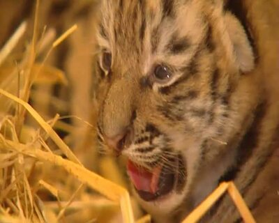 Tigerbabys in Zoo Schmiding