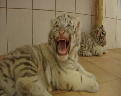 Weiße Tiger Babys