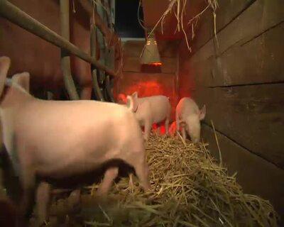 Landwirtschaft hautnah: Schweinebetrieb