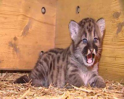 Tierbabies im Zoo: Nachwuchs bei Puma und Fischotter