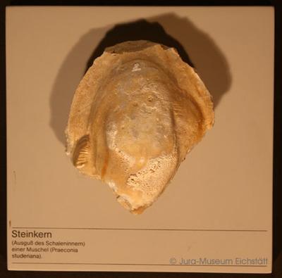 Muschel. Erhaltung tierischer Hartteile