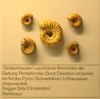 Goldschnecken, pyritisierte Ammoniten der Gattung Perisphinctes